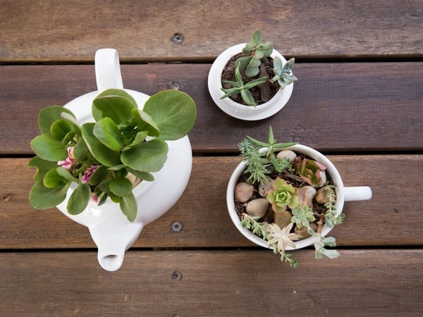 photograph of succulents in tea pot